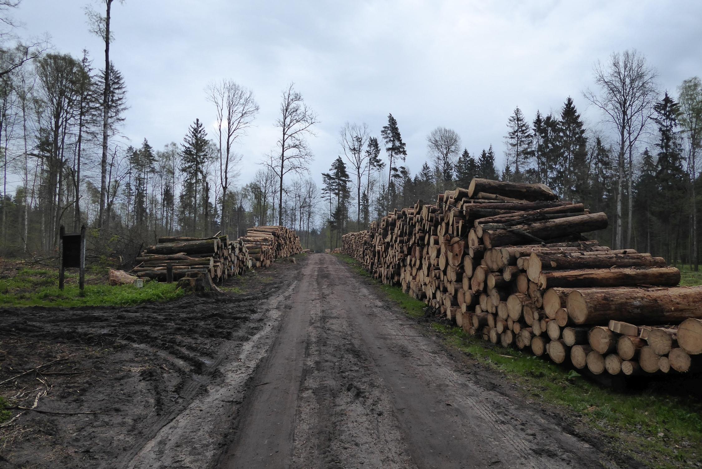 Wycięte drzewa w Puszczy Białowieskiej. Fot. KamilBartoń