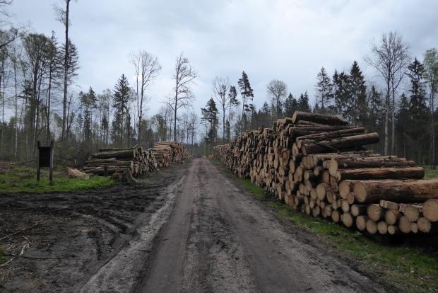 Wycięte drzewa w Puszczy Białowieskiej. Fot. Kamil Bartoń