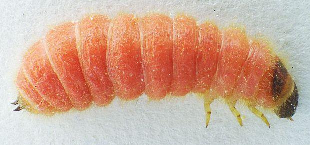 1024px-Trichodes_apiarius_larva_bl1