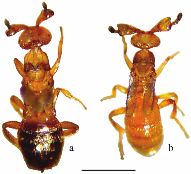 Figure-1-Males-of-Melittobia-parasitoid-wasps-a-M-acasta-b-M-australica-Scale-05