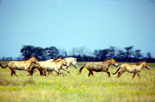 640px-Przewalski's_Horse_Askania_Nova