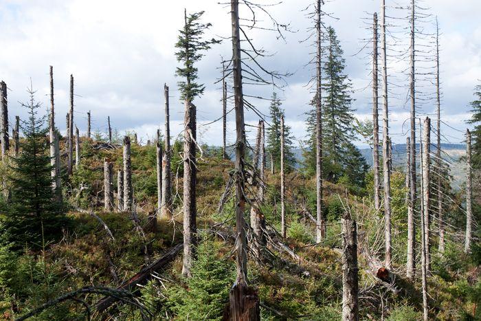 Karpaty. Drzewostany w lesie reglowym odnawiający się po gradacji kornika. Fot. K. Kujawa