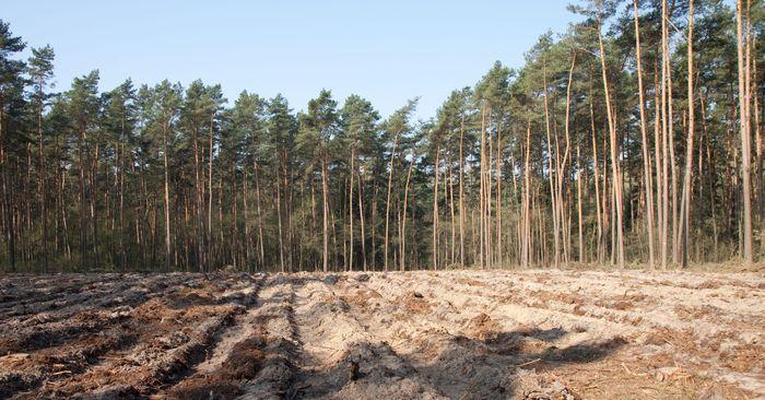 Typowy las gospodarczy z rębniami zupełnymi. Fot. K. Kujawa