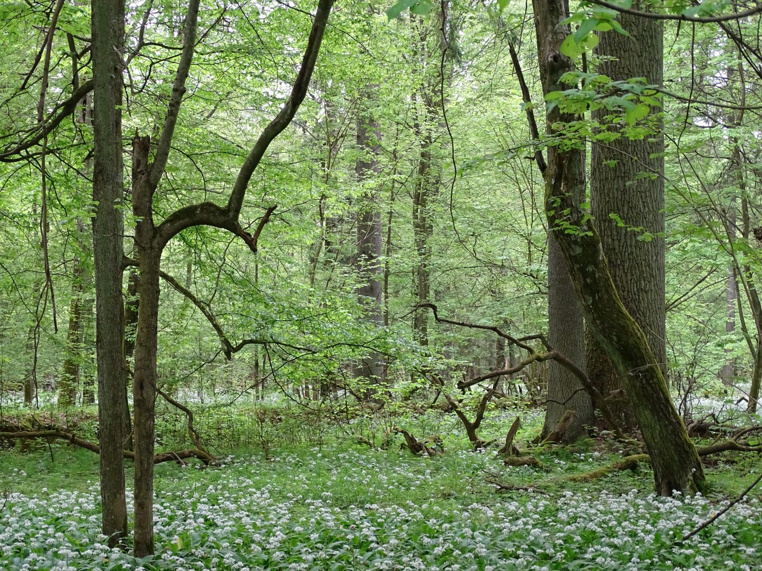 Stare, naturalne lasy są jak żywe laboratoria, których nic nie zastąpi. Puszcza Białowieska. fot. AnnaOrczewska